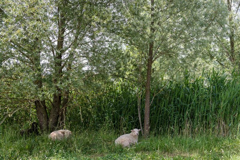 Schafe liegen im Schatten der Bäume.